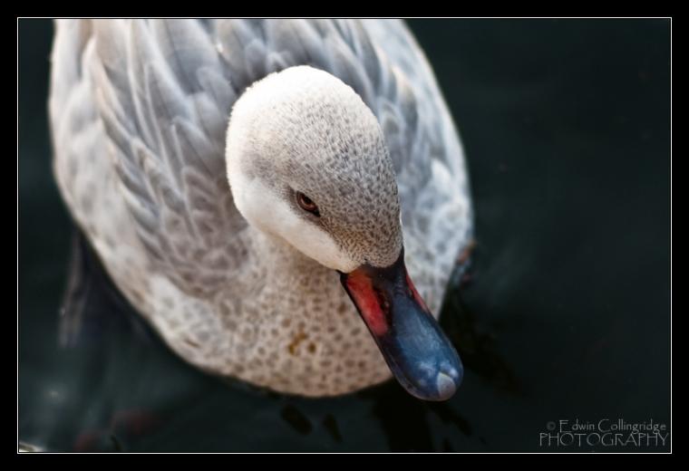 Quiet Quack